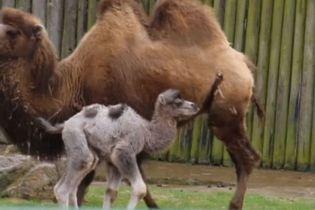 В британском зоопарке верблюда назвали в честь новорожденного принца