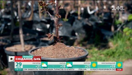 Секрети догляду за карликовими деревами - Зелена ділянка