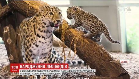 В Венском зоопарке родились малыши редкого амурского леопарда