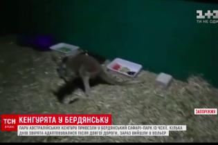 В Бердянском зоопарке появилась пара кенгуру