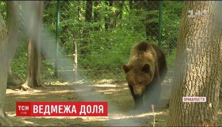 Чотирьом ведмедям з Херсона підготували новий великий вольєр