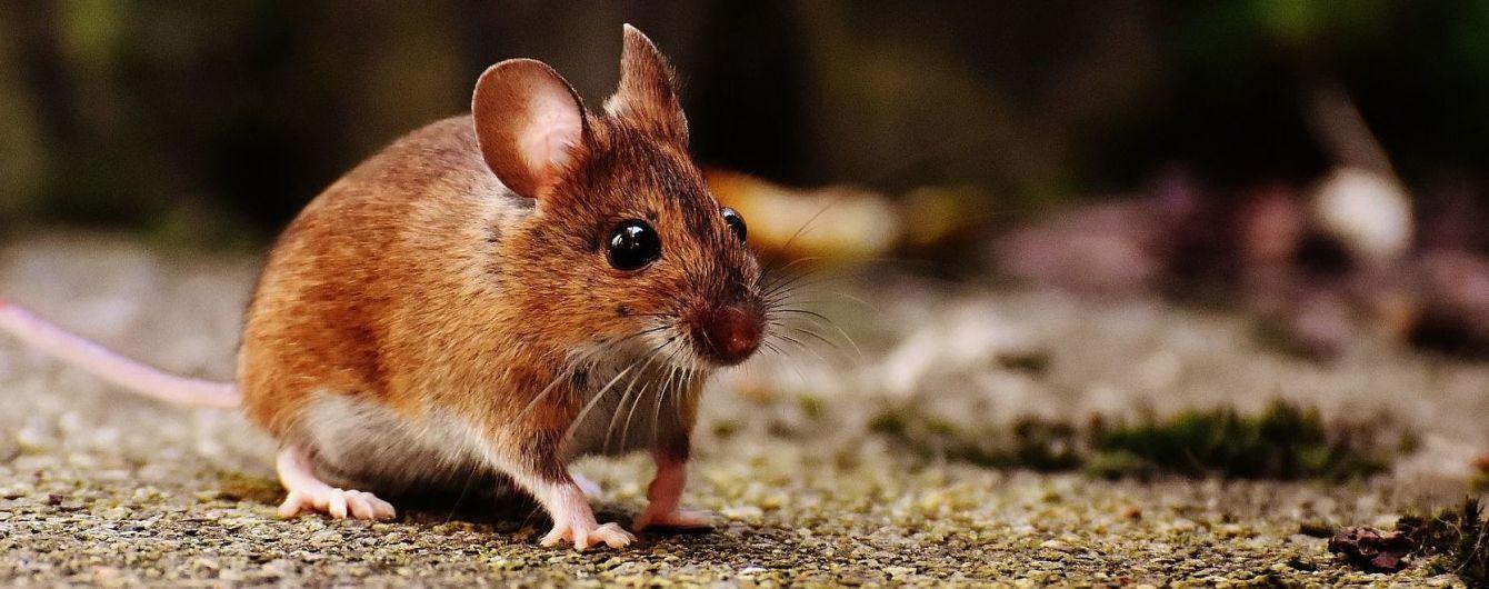 Сумчатые мыши могут исчезнуть через чрезмерный секс