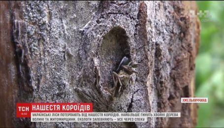 Сотни тысяч гектаров соснового леса в Украине уничтожают короеды