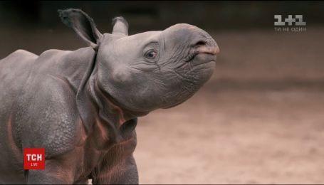 В зверинце города Честер показали двухнедельное малыш индийского носорога