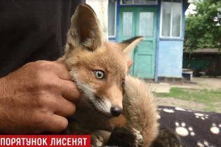 На Черниговщине спасают маленьких лисят, которые попали в капканы