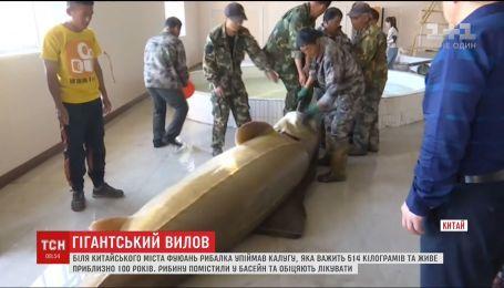 В Китае рыбак поймал гигантскую калугу, которая весит более 500 килограмм