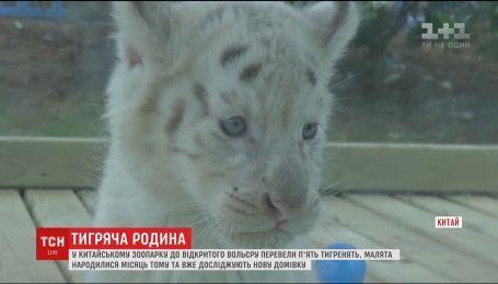 У китайському зоопарку до відкритого вольєру перевели п'ятьох кошенят сніжного тигра