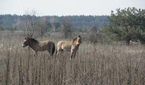 Вчені підрахували популяцію унікальних коней Пржевальського в Чорнобильській зоні