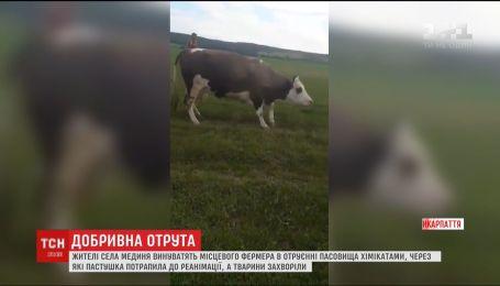 На Прикарпатті жінка, яка випасала худобу, потрапила до реанімації, а всі корови захворіли