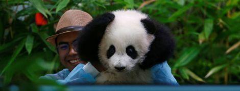 В Малайзии показали детеныша редкой панды