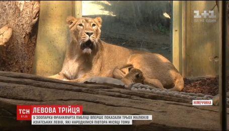 У зоопарку Франкфурта на публіці вперше з'явилися малюки азіатських левів