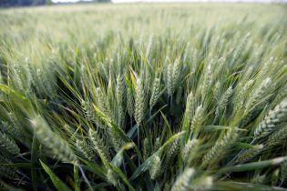 На Житомирщине пожар уничтожил более 20 га пшеницы
