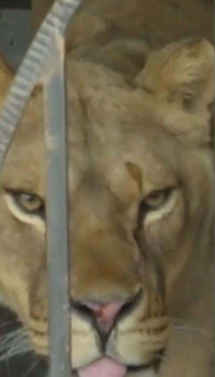 На Тернопольщине 13-летнего мальчика искалечила львица