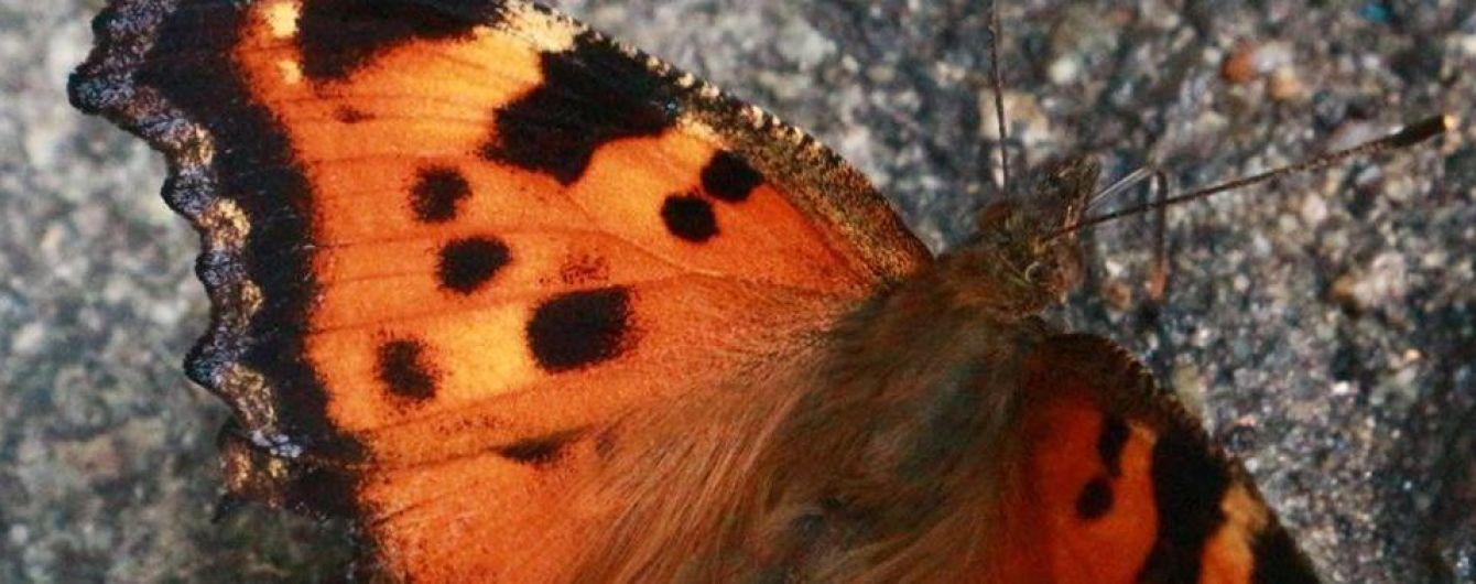 Через теплу погоду Київ окупувала навала метеликів