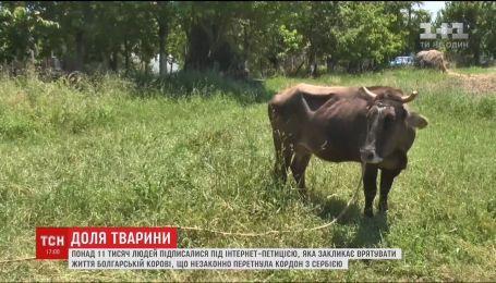 Тысячи людей встали на защиту коровы Пенки, которую хотят усыпить болгарские ветеринары