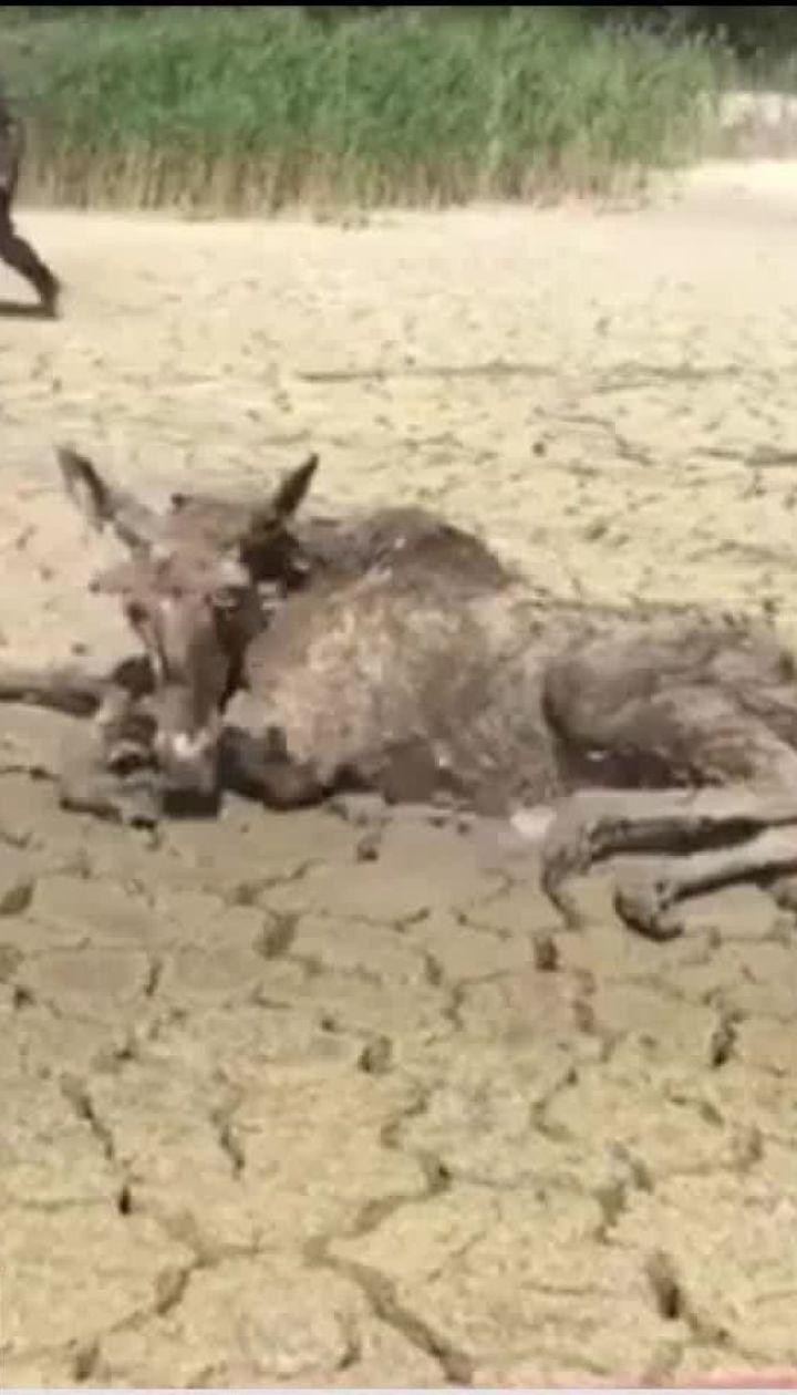 На Житомирщине экологи и селяне спасли из глиняной ловушки двух лосей