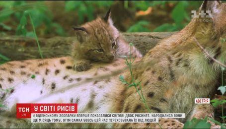 В венском зоопарке впервые показали двух малышей рыси