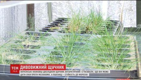 Украинцы нашли растение, что может вылечить рак кожи и дать пшеницы устойчивость к морозам
