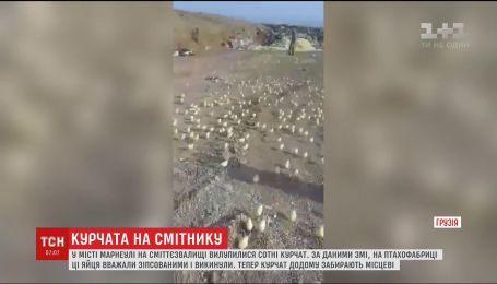 В грузинском городе Марнеули на свалке вылупились сотни цыплят
