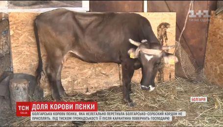 Болгарскую корову Пенку, которая нелегально пересекла границу, не усыпят