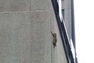 В США Сеть взорвалась из-за енота, который забрался на городской небоскреб