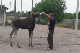 Под Киевом по селу разгуливал дикий лось и пил воду из рук людей
