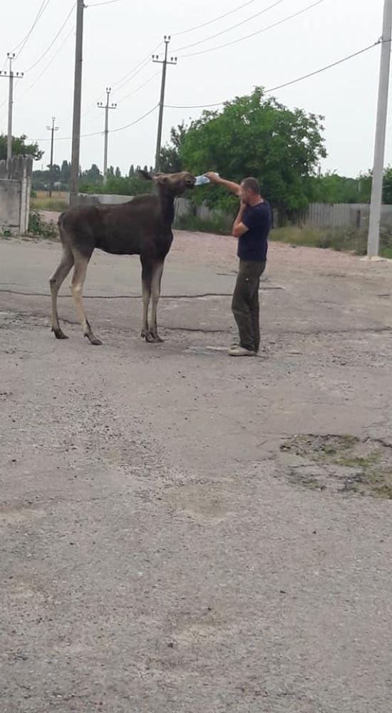 Під Києвом селом розгулював дикий лось і пив воду з рук людей