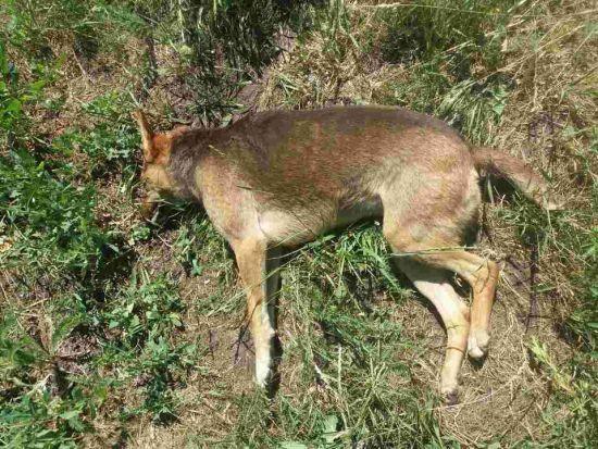 У Кропивницькому продовжують масово труїти собак: вони помирають у судомах