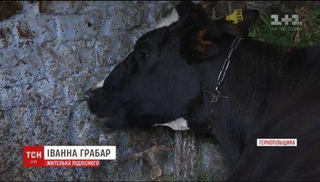 Через розкидані на полі Тернопільщини мінеральні добрива потруїлась череда корів