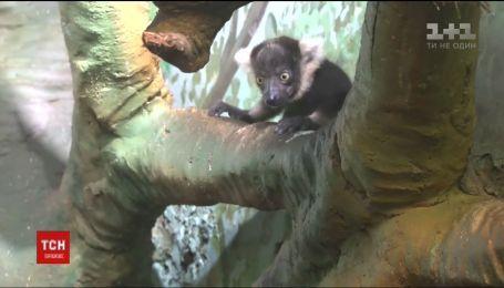 У китайському сафарі-парку народилася трійня лемурів