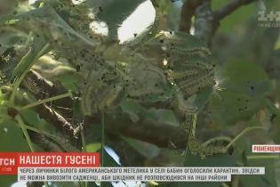 На Рівненщині оголосили карантин через гусінь, яка знищує усі дерева