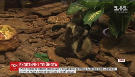 Трех малышей-лемуров впервые показали посетителям сафари-парка в Китае