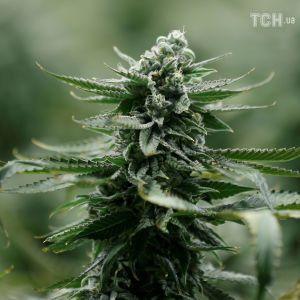 """Канада первой из стран """"Большой семерки"""" легализовала марихуану"""