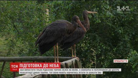 Столичный зоопарк готовится выпустить на волю трех редких черных аистов