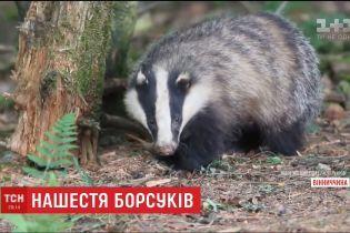 Борсучий терор: на Вінниччині від хижаків потерпають не лише домашні тварини, а й люди