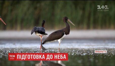 У київському зоопарку готуються випустити на волю рідкісних чорних лелек