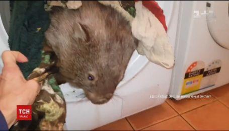 В Австралии вомбат перепутал стиральную машинку с норой и поселился в ней