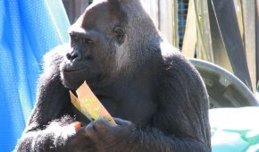 Померла унікальна горила Коко, яка знала мову жестів