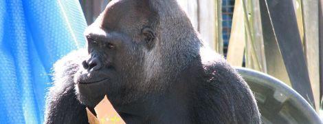 Умерла уникальная горилла Коко, которая знала язык жестов