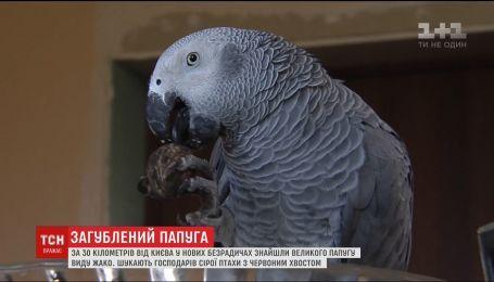 Попугай-приблуда. Хозяев экзотической птицы ищут в Новых Безрадичах под Киевом