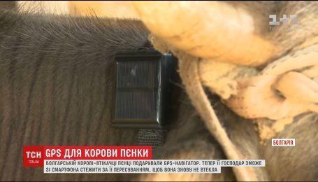 Болгарській корові-втікачці Пєнці подарували навігатор