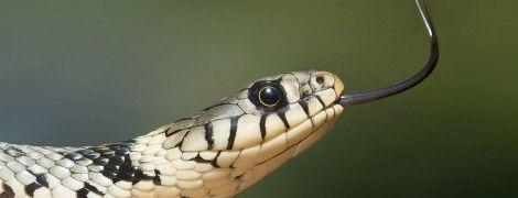 На Львівщині змії покусали людей: четверо осіб у реанімації