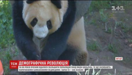 Популяцію рідкісних цинлінських панд вдалося збільшити китайським вченим