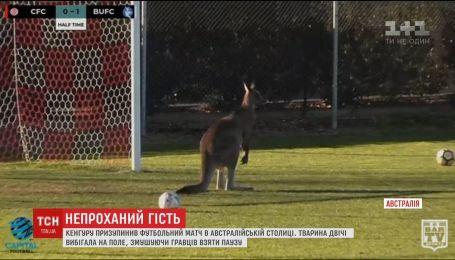В Канберре неугомонный кенгуру дважды остановил футбольный матч