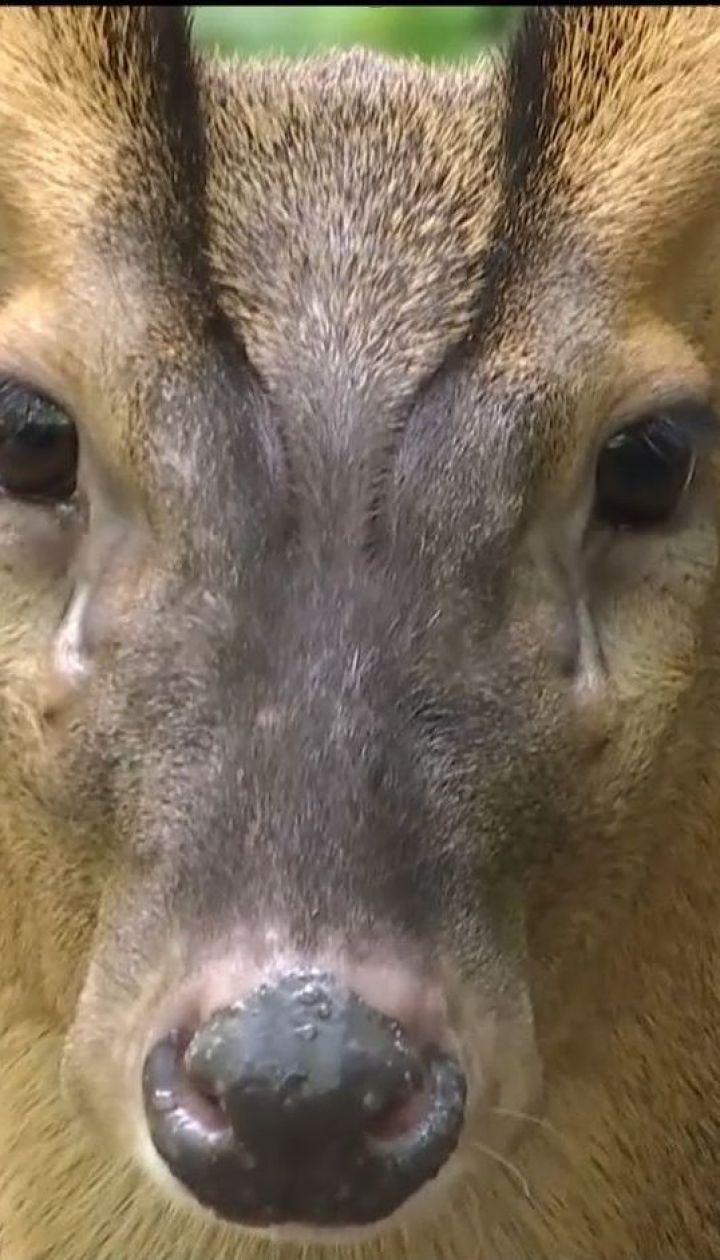 У столичному зоопарку поселили пару маленьких оленів