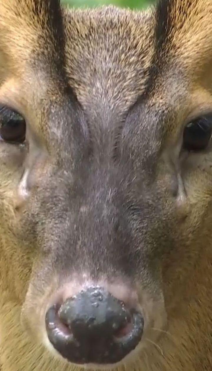 В столичном зоопарке поселили пару маленьких оленей