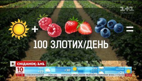 В каких условиях работают украинские сборщики ягод - Наши в Польше