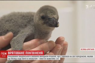 Працівники зоопарку у Лондоні виходили пінгвіненя, що передчасно з'явилося на світ
