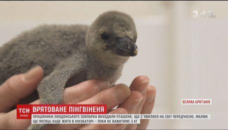Работники зоопарка в Лондоне выходили пингвиненка, который преждевременно появился на свет