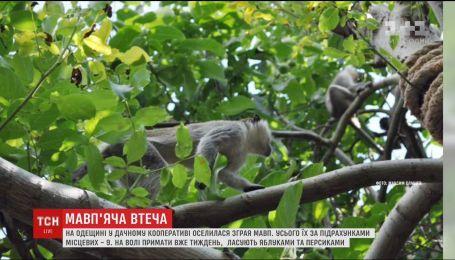 Зграя мавп  оселилася у дачному кооперативі на Одещині